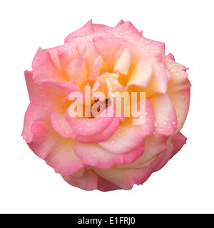 Pink Rose with Water Drops Isolated on White background, with clipping - Stock Photo