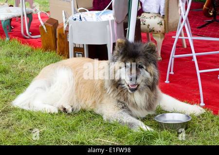 Husky Chow Mix Dog laying with his water bowl at a show in England - Stock Photo