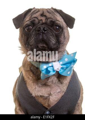 Best Pug Bow Adorable Dog - cute-pug-dog-wearing-a-vest-and-bow-tie-e1fx2f  You Should Have_12320  .jpg