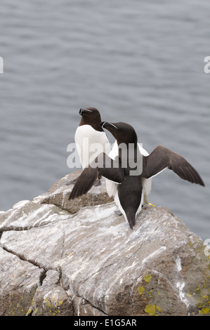 A pair of Razorbills perched on exposed rock on the Isle of May in Scotland - Stock Photo