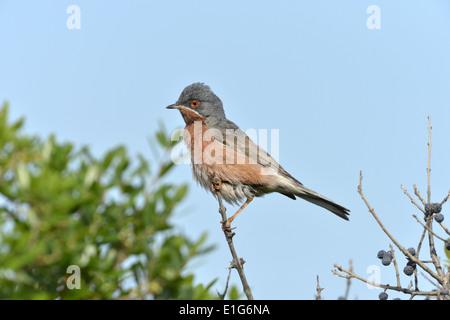 Western Subalpine Warbler - Sylvia cantillans - Stock Photo