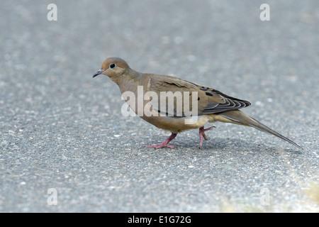 Mourning Dove - Zenaida macroura - 1st winter - Stock Photo