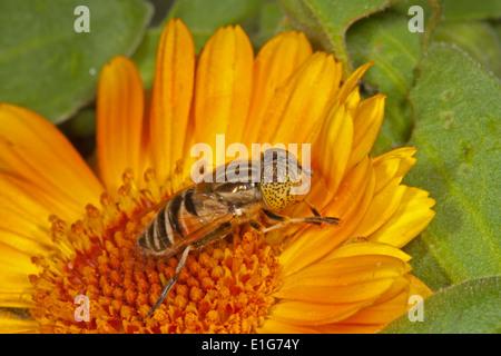 Eristalinus sp; on Marigold flower. - Stock Photo