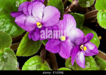 closeup of mauve and white African violet flowers - Stock Photo