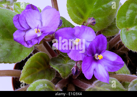 closeup of blue African violet flowers and green leaves - Stock Photo