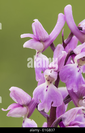 Orchis mascula early-purple orchid in flower - Stock Photo