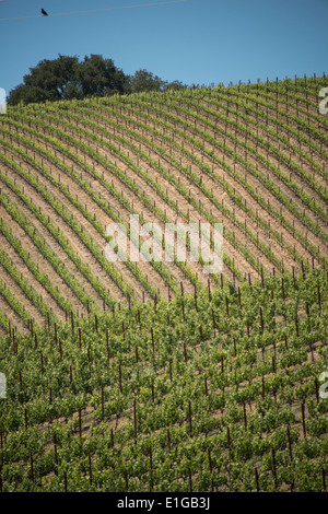 hillside vineyards in Wine Country near Paso Robles in Central California USA - Stock Photo