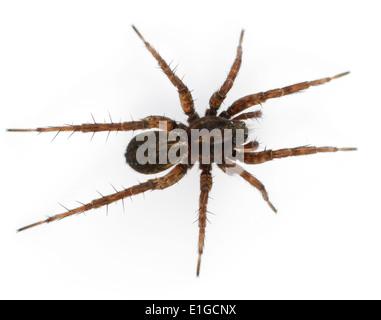 Pardosa pullata is a very common wolf spider especially on open tussocky grassland often abundant in damper areas. - Stock Photo