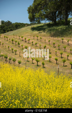 spring wildflowers and vineyards in Wine Country near Paso Robles in Central California USA - Stock Photo