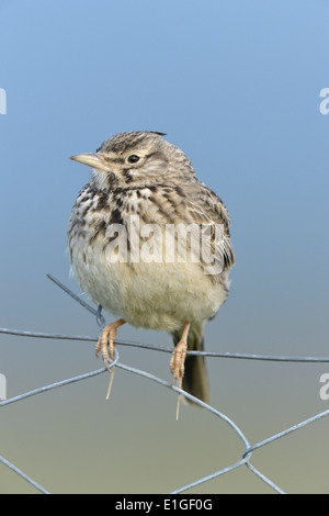 Crested Lark - Galerida cristata - Stock Photo