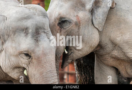 Zurich, Switzerland. 4th June 2014. Elephants of Zurich zoo are strolling in their new home and the zoo's new attraction: - Stock Photo
