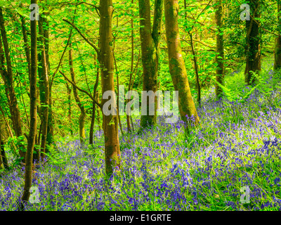 Spring in a beautiful Bluebells Woods Cornwall England UK Europe - Stock Photo