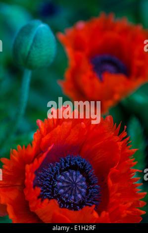 """Oriental Poppy """"Tukenlouis"""" - Stock Photo"""