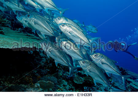 School of Bigeye trevally. - Stock Photo