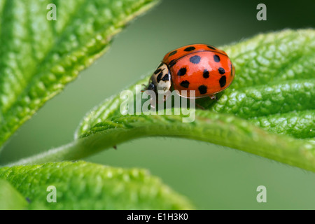 Harlequin ladybird / multicolored Asian lady beetle (Harmonia axyridis) on leaf - Stock Photo