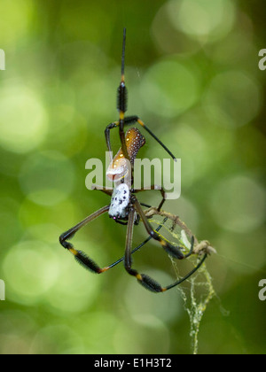 Golden silk orb-weaver, Nephila sp, Parque Tayrona, Magdalena, Colombia - Stock Photo