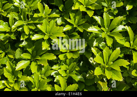 pachysandra terminalis ground cover garden plant shade. Black Bedroom Furniture Sets. Home Design Ideas