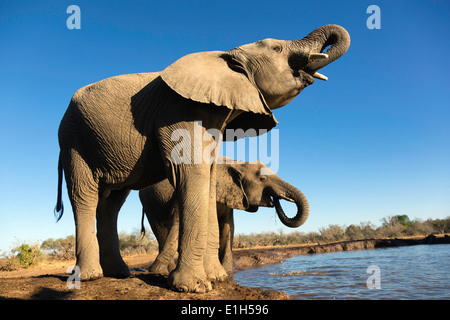 African elephants (Loxodonta africana) drinking at watering hole, Mashatu game reserve, Botswana, Africa - Stock Photo