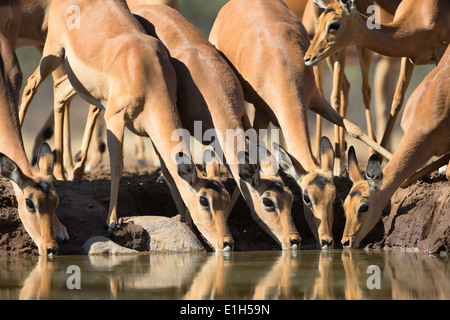 Group of Impala (Aepyceros melampus) drinking at watering hole, South Africa - Stock Photo