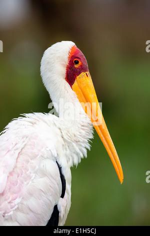 Portrait of Yellowbilled Stork (Mycteria ibis), Lake Nakuru National Park, Kenya, Africa - Stock Photo