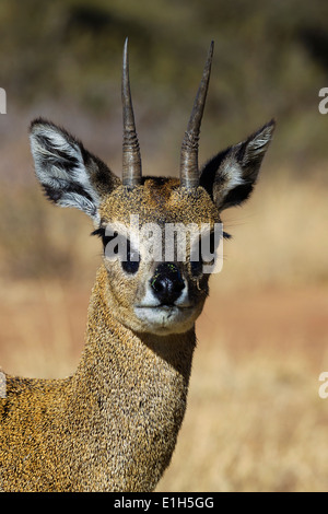 Portrait of Klipspringer (Oreotragus oreotragus), South Africa - Stock Photo