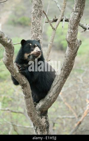 Spectacled Bear (Tremarctos ornatus) 2-year old female, Chaparri Reserve, Lambayeque Province, Peru - Stock Photo