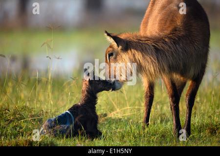 Mother and baby waterbuck (Kobus ellipsiprymnus), Lake Nakuru National Park, Kenya, Africa - Stock Photo