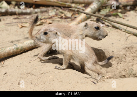 Two alert juvenile  Black-tailed prairie dogs (Cynomys ludovicianus) emerging from the burrow - Stock Photo