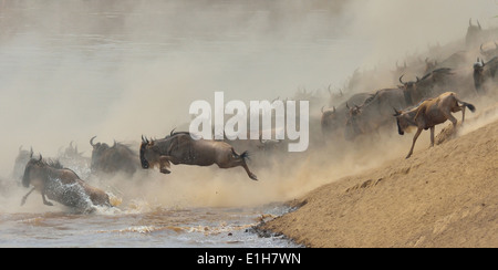 Western white-bearded wildebeest (Connochaetes taurinus mearnsi) jumping from riverbank Mara Triangle Maasai Mara - Stock Photo