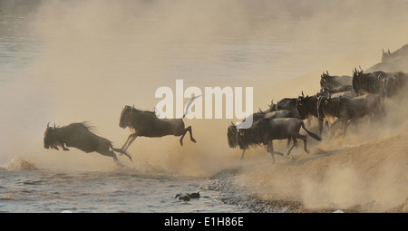 Herd of Western white-bearded wildebeest (Connochaetes taurinus mearnsi) jumping in river Mara Triangle Maasai Mara - Stock Photo