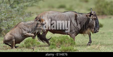 Two Western white-bearded wildebeest (Connochaetes taurinus mearnsi) running Mara Triangle Maasai Mara Narok Kenya - Stock Photo