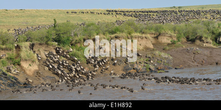 Western white-bearded wildebeest crossing onto distant riverbank - Stock Photo