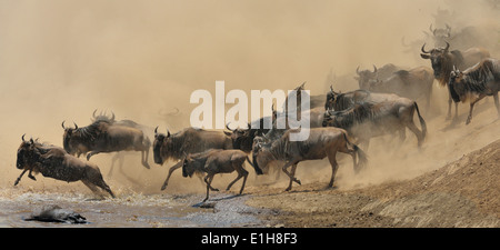 Group of Western white-bearded wildebeest (Connochaetes taurinus mearnsi) jumping in river Mara Triangle Maasai - Stock Photo
