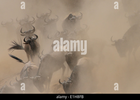 Group of Western white-bearded wildebeest (Connochaetes taurinus mearnsi) hidden by dust Mara Triangle Maasai Mara - Stock Photo