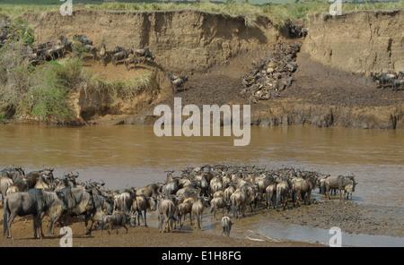 Herds of Western white-bearded wildebeest - Stock Photo