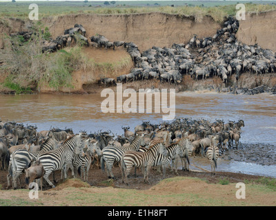Herds of Burchell's Zebra and Western white-bearded wildebeest on muddy riverbanks - Stock Photo