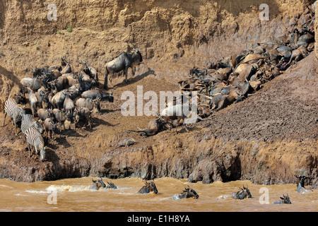Burchell's Zebra and Western white-bearded wildebeest on muddy riverbank - Stock Photo