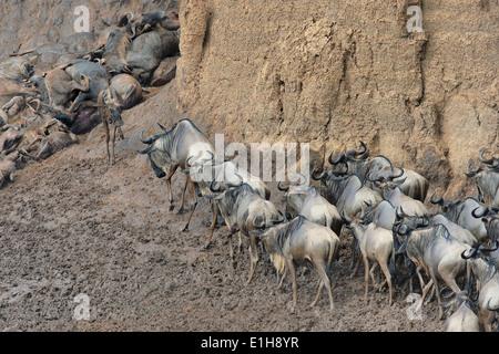 Western white-bearded wildebeest (Connochaetes taurinus mearnsi) exhausted riverbank Mara Triangle Maasai Mara Narok - Stock Photo