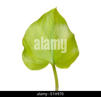 Calla palustris leaf isolated on white background - Stock Photo