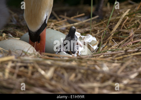 Mute Swan, Cygnus olor cygnet hatching from its egg - Stock Photo