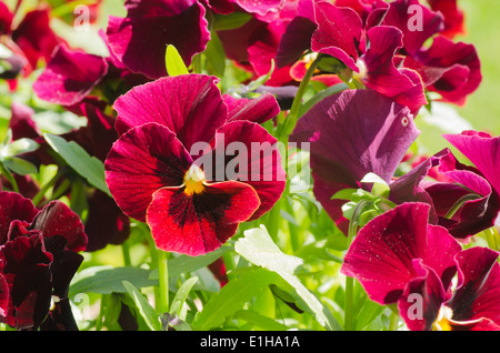 Group of sunlit red pansies - Stock Photo
