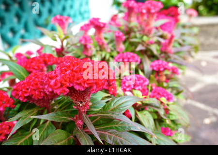 Red Celosia argentea , Cockscomb or Chinese Wool Flower in the garden. - Stock Photo