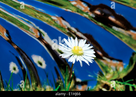 A daisy in a garden with a mirrored reflective warped background - Stock Photo