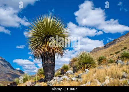 Queen of the Andes or Giant Bromeliad (Puya raimondii), Huascaran National Park, Andes, Huaraz, Ancash region, Peru - Stock Photo