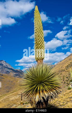Queen of the Andes or Giant Bromeliad (Puya raimondii), about 8 m high with inflorescence, the highest inflorescence - Stock Photo