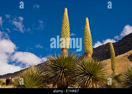 Queen of the Andes or Giant Bromeliads (Puya raimondii), about 8 m high with inflorescence, the highest inflorescence - Stock Photo