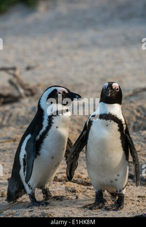 African Penguins (Spheniscus demersus), Boulders Beach, Simon's Town, Western Cape, South Africa - Stock Photo