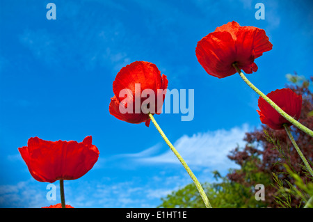 Four tall bright red oriental poppies seen in sunshine against a blue sky, domestic garden, Cumbria, England UK - Stock Photo
