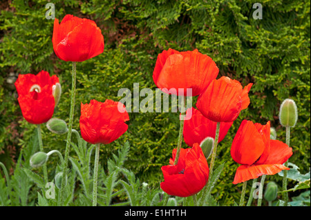 Bright red oriental poppies in flower in domestic garden against background of green conifer evergreen shrub, Cumbria - Stock Photo