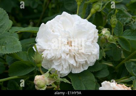 Mme Legras De St. Germain rose flower. - Stock Photo